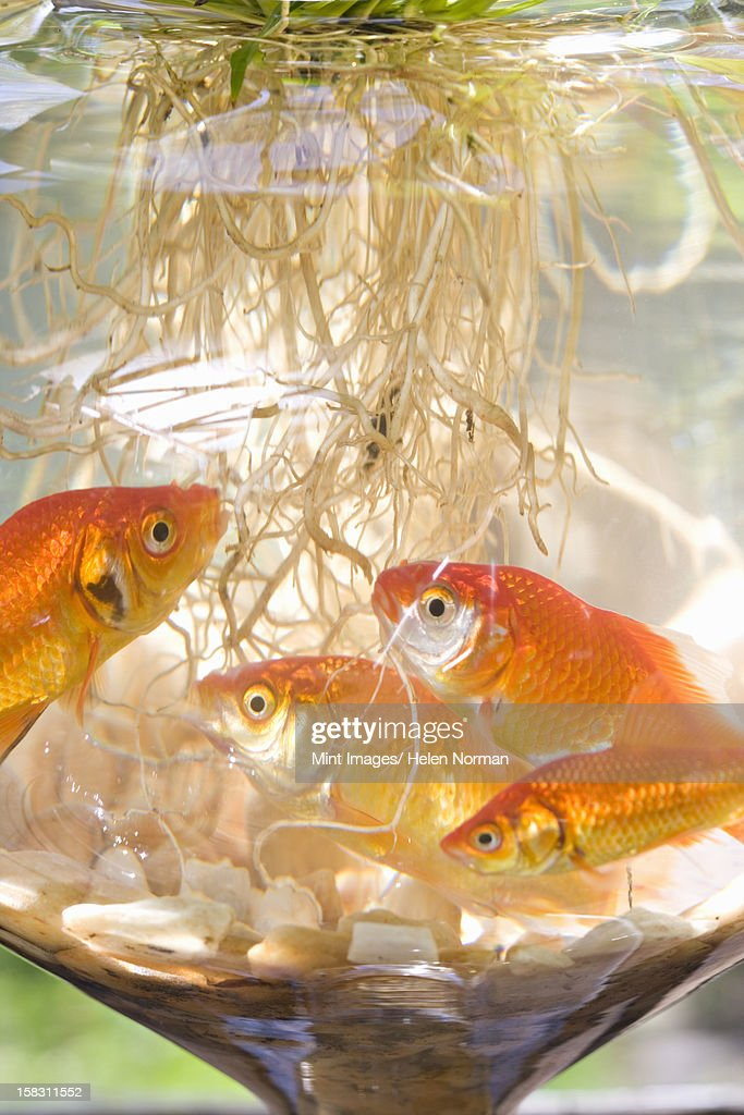 Goldfish in a bowl on a windowsill with plants growing in for Fish bowl with plant on top