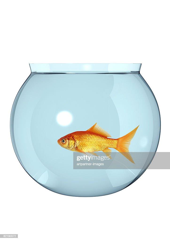 goldfish in a fish bowl, fishbowl : Stock Photo