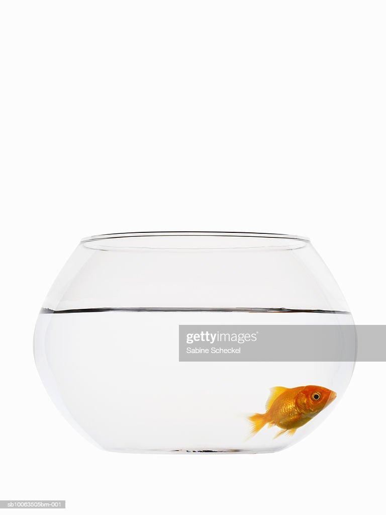 Goldfish in bowl on white background : Stock Photo
