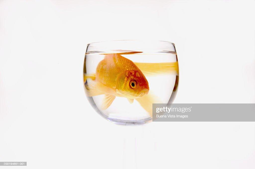 Goldfish (Carassius auratus) in bowl : Stock Photo