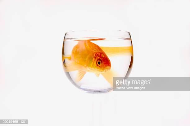 Goldfish (Carassius auratus) in bowl