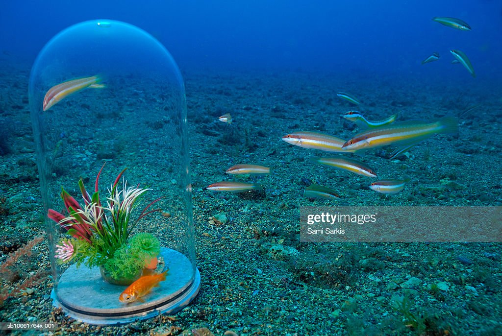 Goldfish in bowl under water surrounded by Rainbow Wrasse fishes : Stock Photo