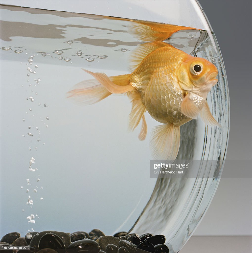Goldfish in bowl with bubbles : Stock Photo