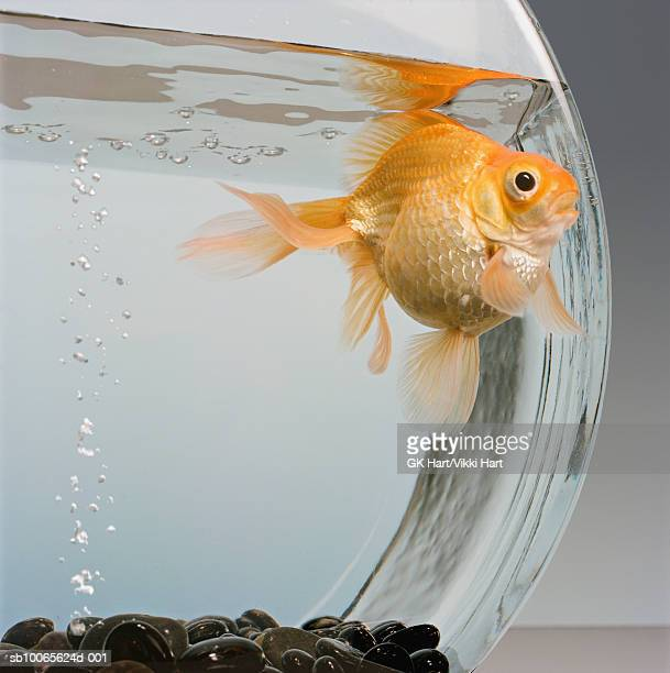 Goldfish in bowl with bubbles