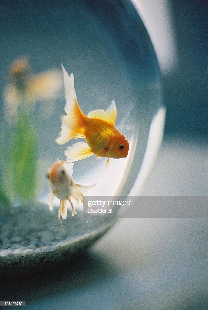 Goldfish in fish bowl : Stock Photo