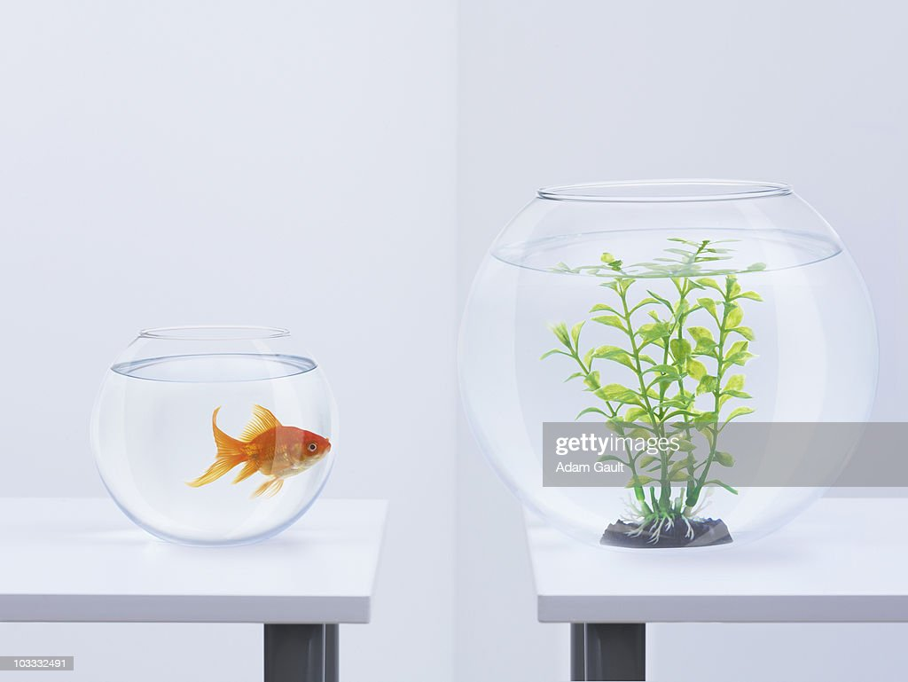 Goldfish in fishbowl looking at plant in opposite fishbowl : Stock Photo
