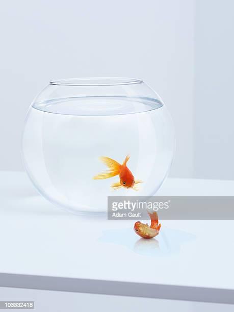 Goldfish in fishbowl watching goldfish flopping outside fishbowl
