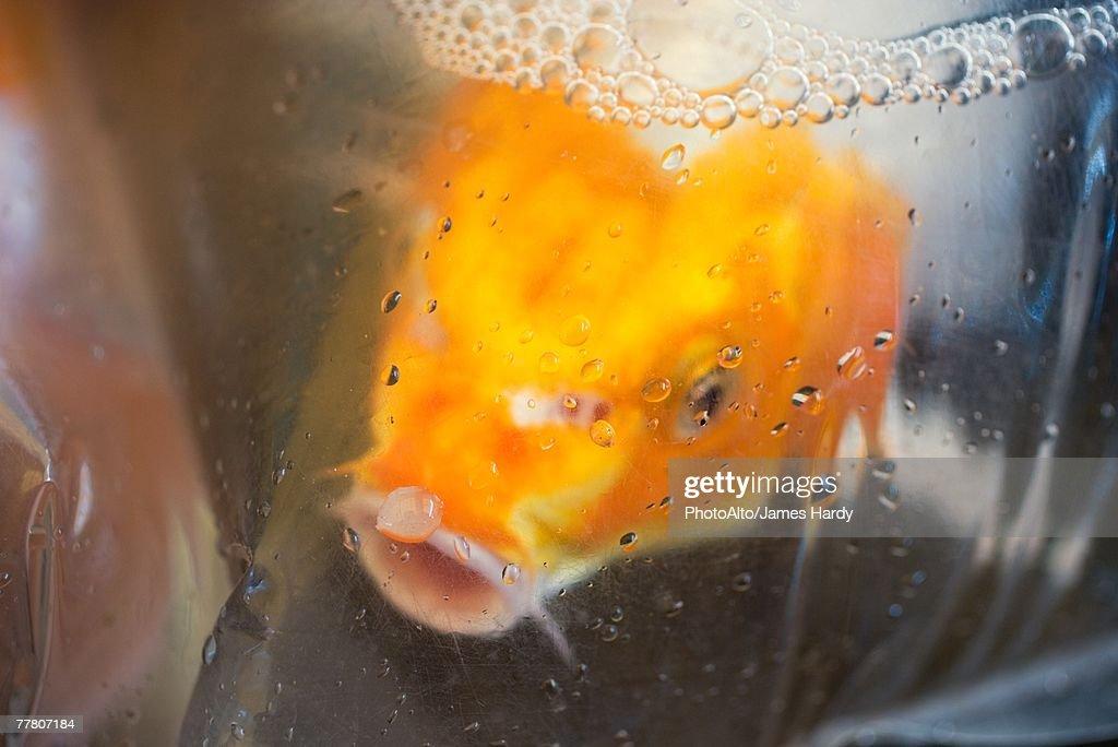 Goldfish in plastic bag : Stock Photo