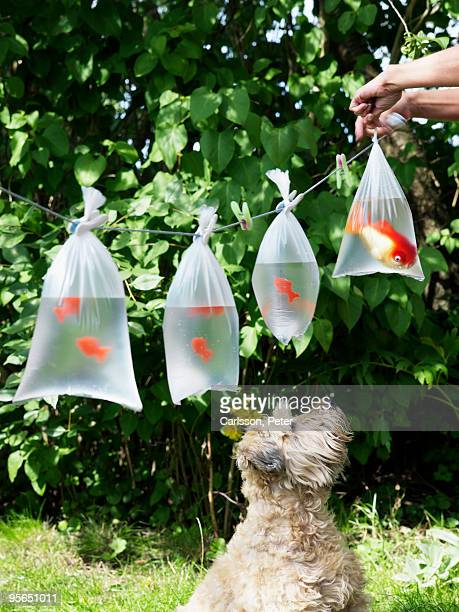 Goldfish in plastic bags hanging on a string, Sweden.