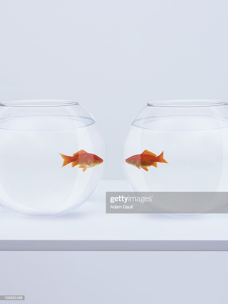 Goldfish in separate fishbowls looking face to face : Stock Photo