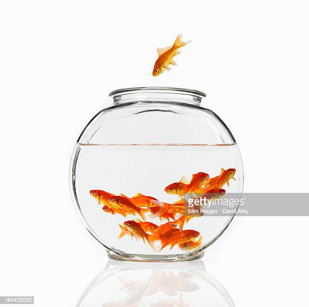 A goldfish in the air diving into a crowded bowl