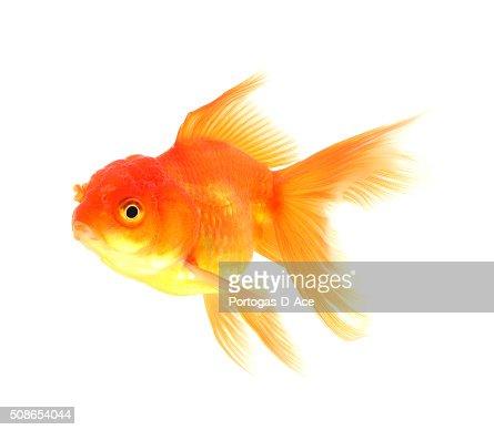 Goldfish Isolated on black Background : Stock Photo