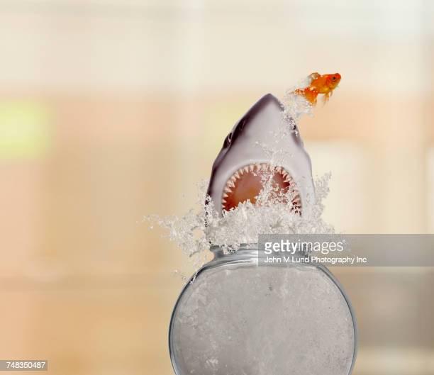 Goldfish jumping away from shark in fishbowl