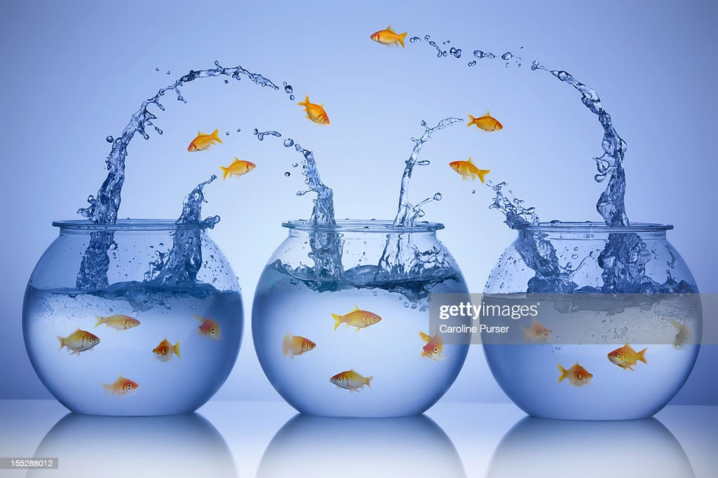 Goldfish jumping from three different bowls : Stock Photo