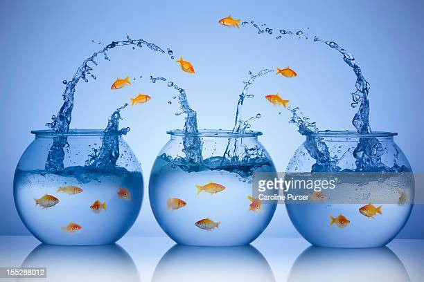 Goldfish jumping from three different bowls