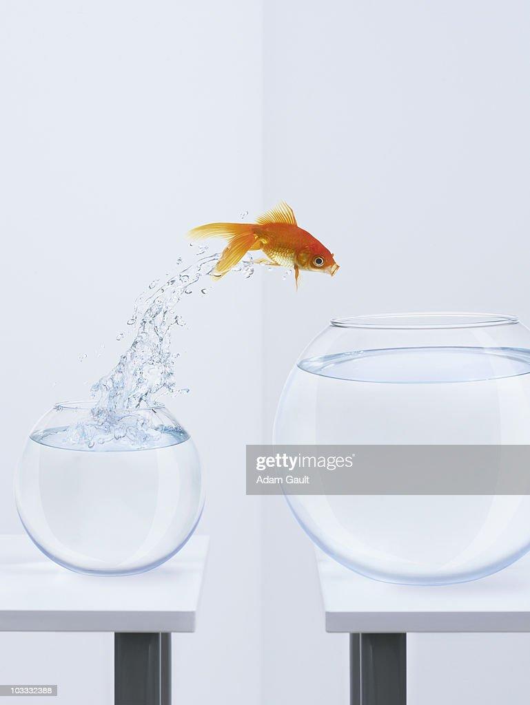 Goldfish jumping into bigger fishbowl : Stock Photo