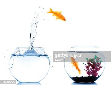 Poisson rouge saut de nouveau fishtank photo getty images for Recherche poisson rouge