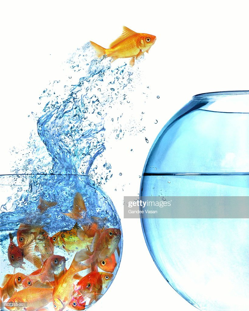 Goldfish jumping out of overcrowded bowl into empty bowl (Composite) : Stock Photo