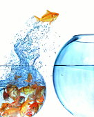 Goldfish jumping out of overcrowded bowl into empty bowl (Composite)