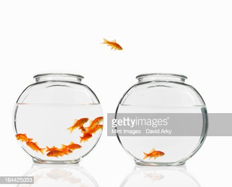 A goldfish leaping from one bowl to another. : Stock Photo