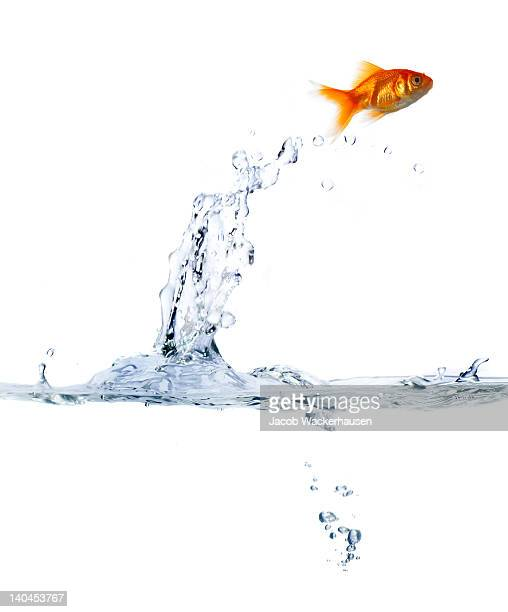 Goldfish leaping out of water