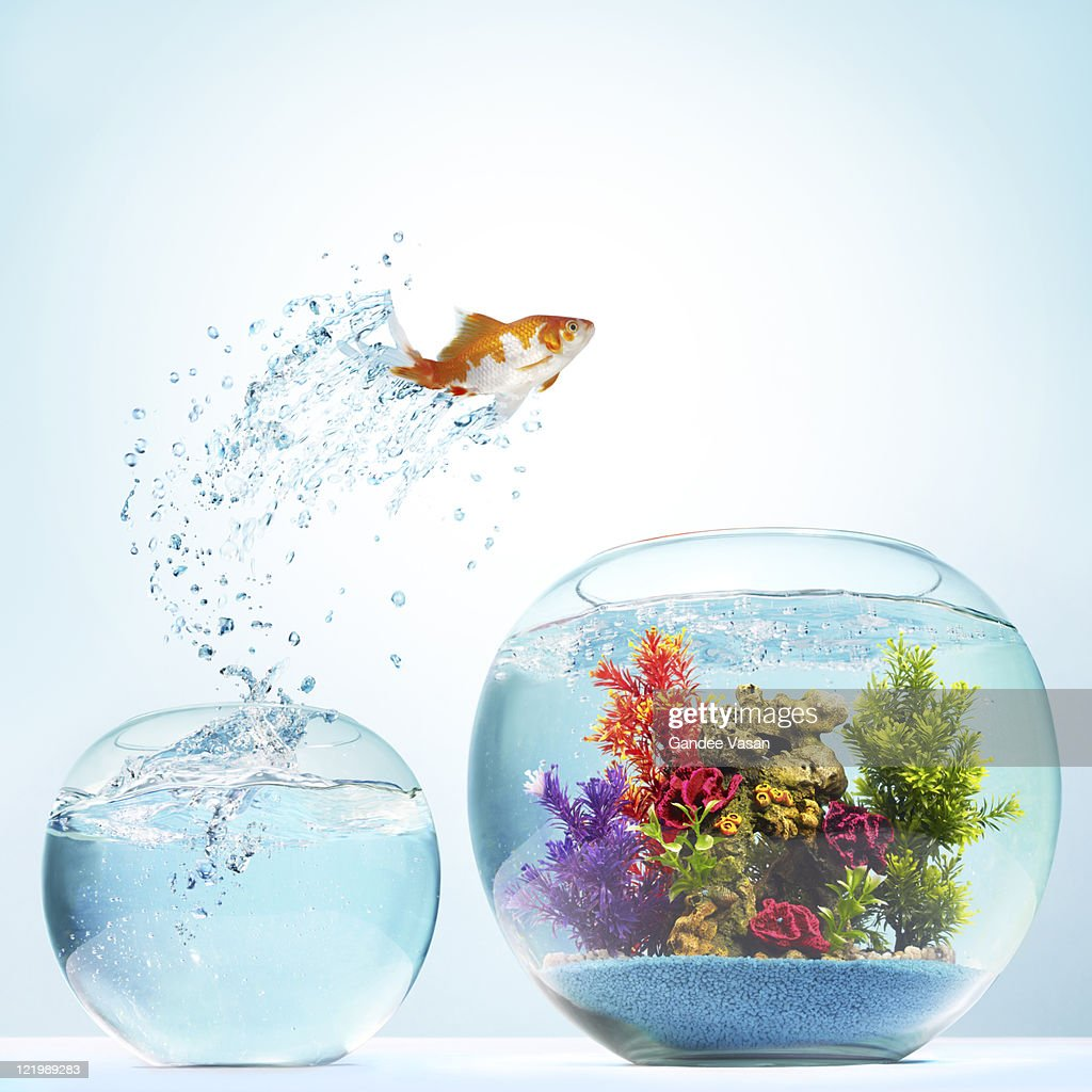 Goldfish Leaping : Stock Photo
