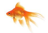 Goldfish on a white background