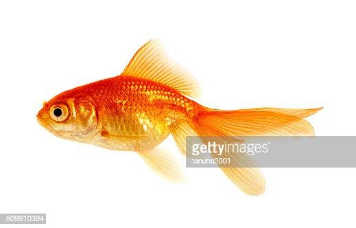 goldfish on a white : Stock Photo