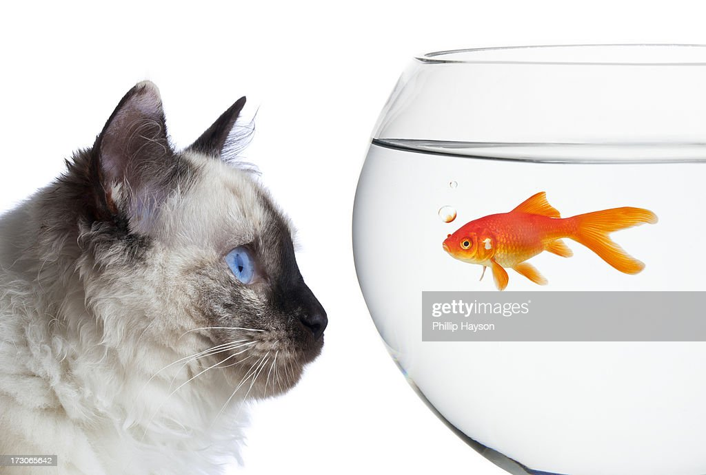 Goldfish : Stock Photo