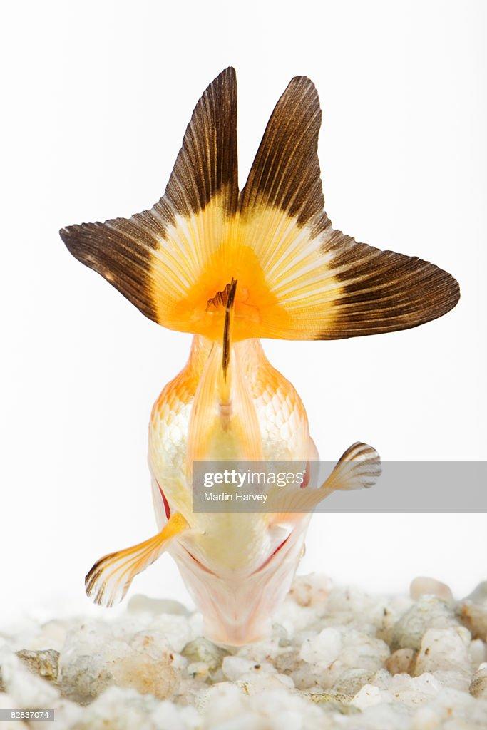 Goldfish. : Stock Photo