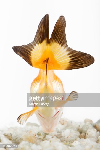 Goldfish. : Stock Photo