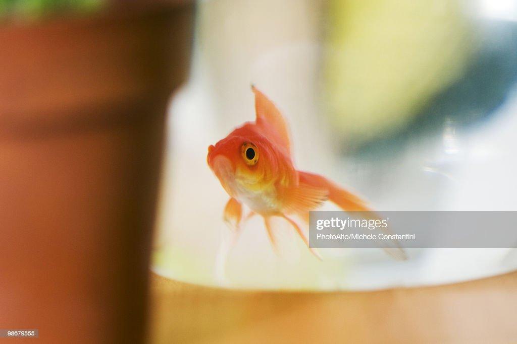 Goldfish : Stock Photo