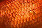 Goldfish, scales, close up, Carassius auratus, captive