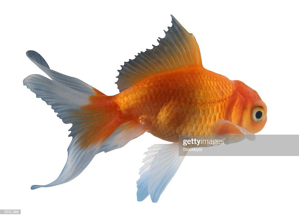 Goldfish, side view : Stock Photo