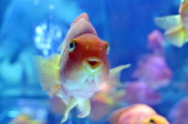 Goldfish swim in a tank as part of an art exhibition 'Art Aquarium' during a press preview in Tokyo on August 16 2012 The exhibition designed by...
