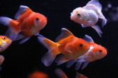 Goldfish swim in a tank at Pet Central pet supply store on June 22 2011 in San Francisco California San Francisco's Animal Control and Welfare...