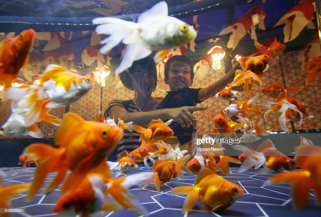 Goldfish swim in a tank at Sumida Aquarium in Tokyo on June 29, 2016. The aquarium will start displaying 1,000 goldfish of 23 species from July 1 to Sept. 30 as part of a summer event.