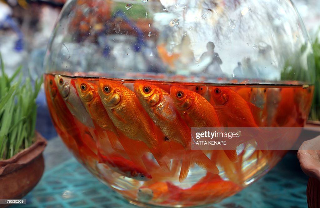 Goldfish swim in bowls at a market in Tehran on March 19, 2014. Iranians are preparing to celebrate Noruz, an ancient Zoroastrian feast starting 21 March, by buying flowers, green plants and goldfish. Noruz is calculated according to a solar calendar, this year marking 1393.