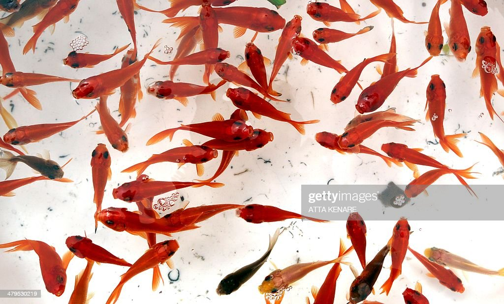 Goldfish swim in bowls at a market in Tehran on March 19 2014 Iranians are preparing to celebrate Noruz an ancient Zoroastrian feast starting 21...