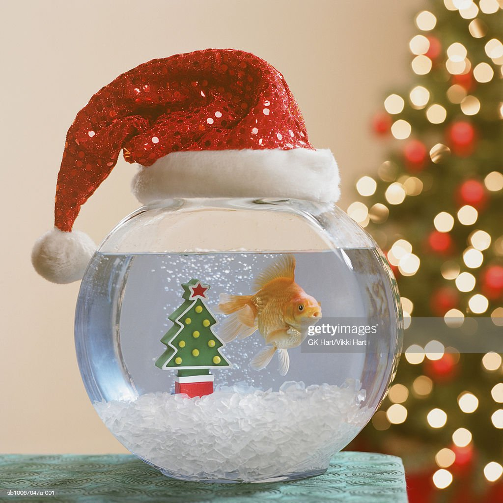 Goldfish swimming in bowl decorated with santa claus hat : Stock Photo
