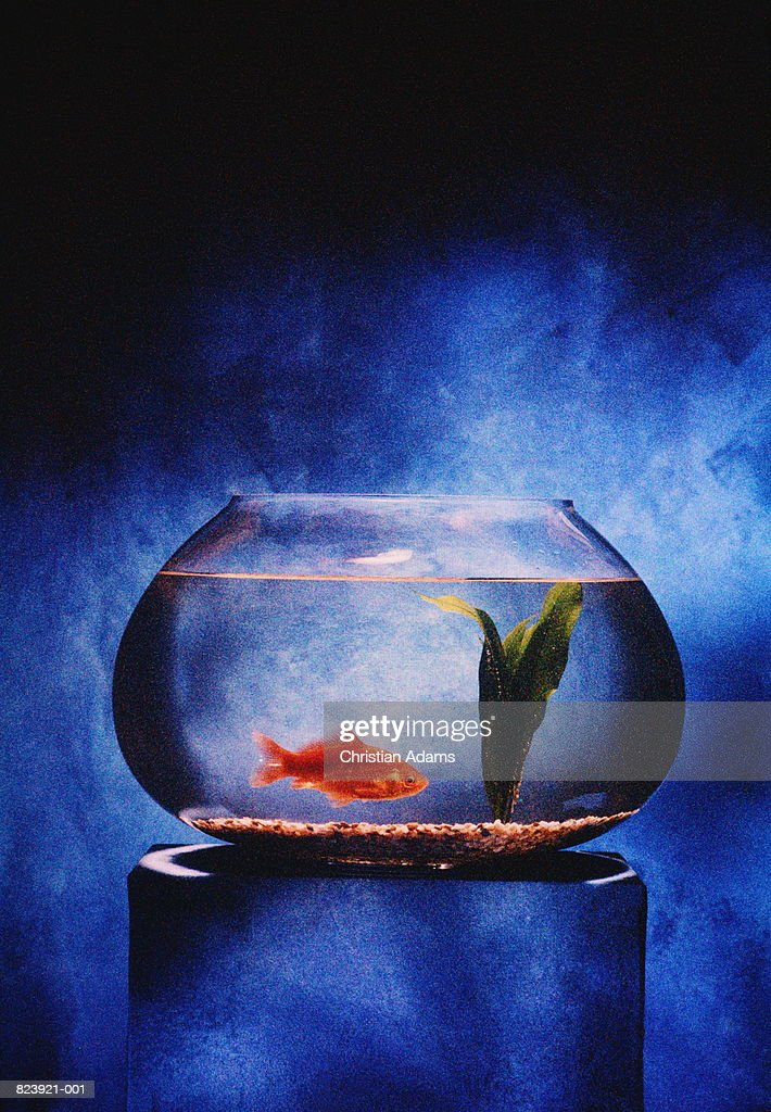 Goldfish swimming in bowl (textured) : Stock Photo