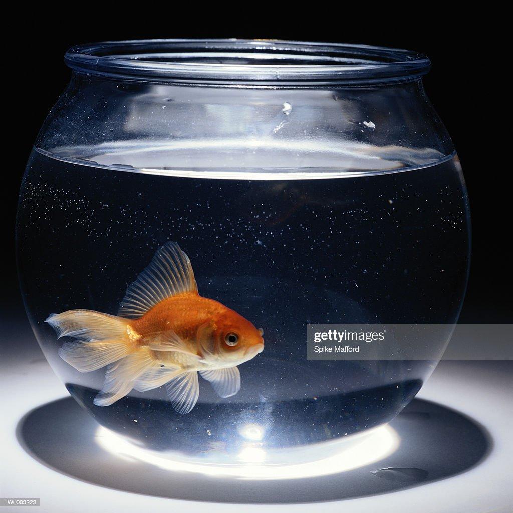 Goldfish (Carassius auratus) swimming in bowl : Stock Photo