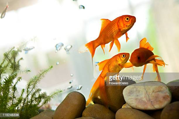 Goldfish swimming in tank