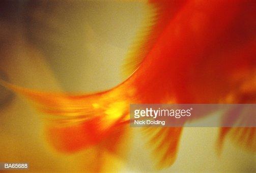Goldfish (Carassius auratus) swimming, low section (defocussed) : Stock Photo