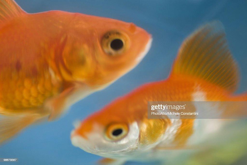 Goldfish swimming together : Stock Photo
