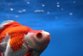 Goldfish swims in a tank at Pet Central pet supply store on June 22 2011 in San Francisco California San Francisco's Animal Control and Welfare...