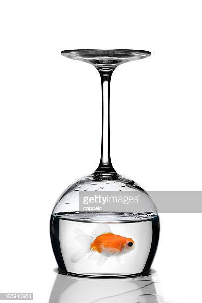 Goldfish Trapped In A Glass Upside-Down.Color Image