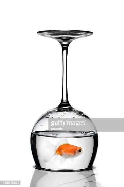 Goldfisch gefangen In einem Glas auf den Kopf gestellt Down.Color Bild