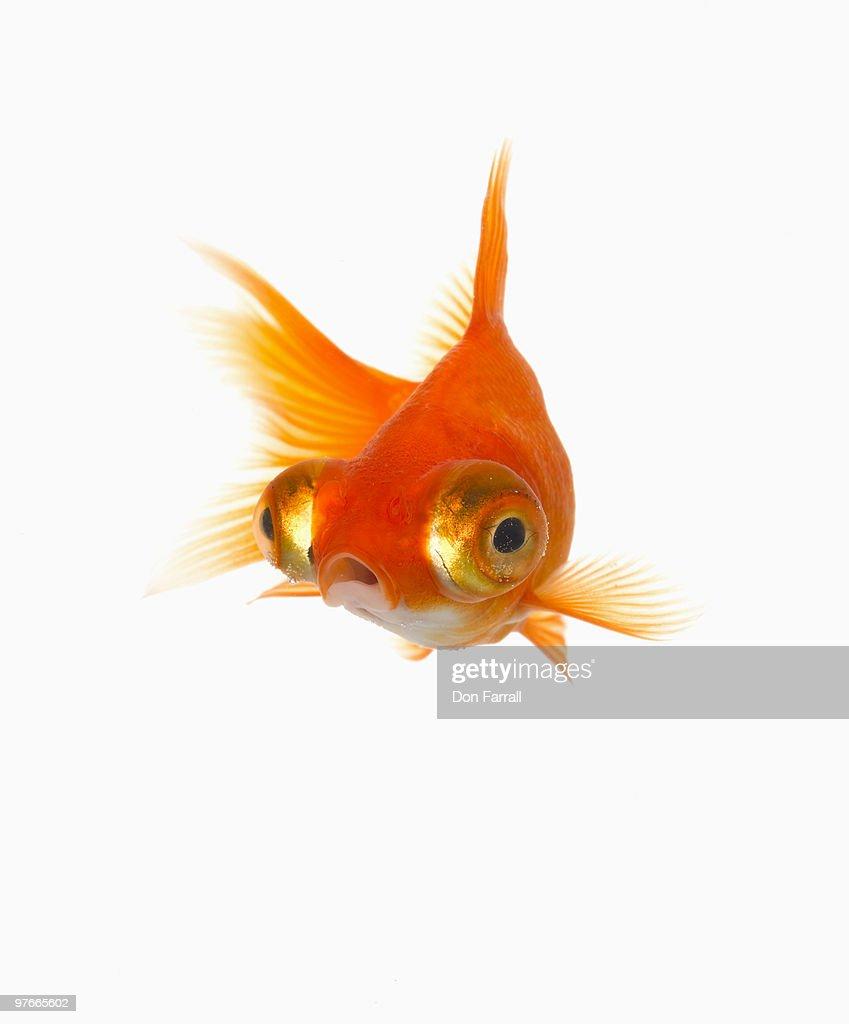 Goldfish with Big eyes : Stock Photo