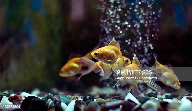 Goldfishes in an aquarium